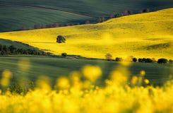 Поле рапса, зацветая канола цветки близко вверх Рапс на fi Стоковые Фото