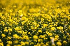 Поле рапса, зацветая канола цветки близко вверх Рапс на fi Стоковые Изображения
