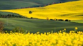 Поле рапса, зацветая канола цветки близко вверх Рапс на fi Стоковые Изображения RF