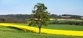 Поле рапса, канола или сурепки и дерева Стоковые Фото