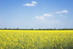 Поле рапса природы blossoming стоковые фото