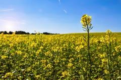 Поле рапса с blossoming желтым канола родом капустой цветков во время солнечного летнего дня Стоковое Изображение