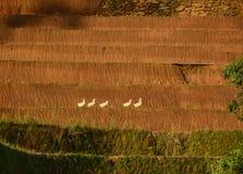 Поле риса в северном Вьетнаме Стоковое Изображение