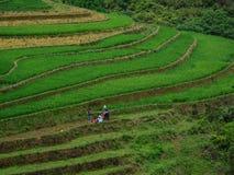 Поле риса в северном Вьетнаме Стоковая Фотография RF
