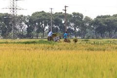 Поле риса в сезоне сбора стоковое изображение rf