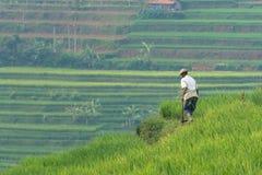 Поле риса в Sumedang, западной Ява, Индонезии стоковое изображение rf