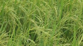 Поле риса жасмина сток-видео