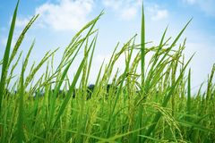 Поле риса желтого зеленого цвета на предпосылке голубого неба стоковая фотография