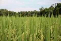 Поле риса зеленого цвета Таиланда желтое стоковые фотографии rf