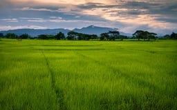 Поле риса ландшафта стоковые фото