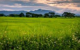 Поле риса ландшафта стоковые изображения rf