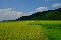 Поле риса перед станцией Torokko-Kameoka, Киото, Японией стоковое фото rf