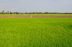 Поле риса с голубым небом Стоковая Фотография