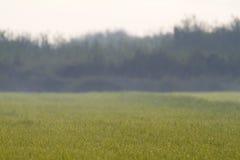 Поле риса с падениями росы Стоковые Изображения RF