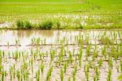 Поле риса Стоковая Фотография RF