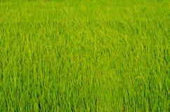 Поле риса Стоковое Изображение