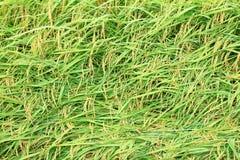 Поле риса Стоковые Фотографии RF