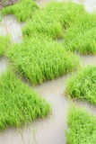 Поле риса Стоковое Фото