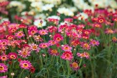 Поле розовых и белых маргариток, красочных цветков Стоковые Фото