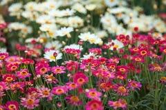 Поле розовых и белых маргариток, красочных цветков Стоковые Изображения