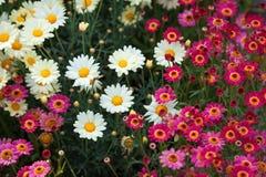 Поле розовых и белых маргариток, красочных цветков Стоковое Изображение