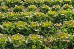 Поле салата в солнечном свете Стоковое Фото