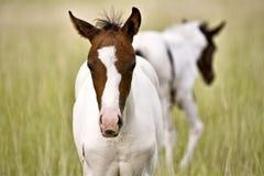 Поле Саскачевана конематки и новичка лошади Стоковое фото RF