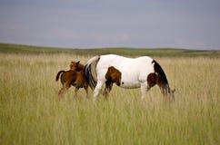 Поле Саскачевана конематки и новичка лошади Стоковая Фотография RF