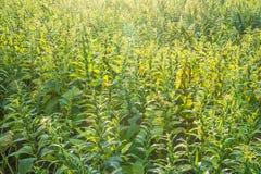 Поле сезама со стручками и семенами сезама в Xigang, Tainan, Тайване, конце вверх, макрос, bokeh стоковое изображение