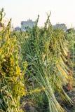 Поле сезама со стручками и семенами сезама в Xigang, Tainan, Тайване, конце вверх, макрос, bokeh стоковые изображения