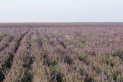 Поле сирени цветет ландшафт лета Стоковое фото RF