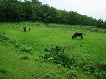 поле скотин пася Стоковая Фотография