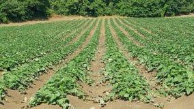Поле сладкого картофеля в в начале августовского стоковое фото