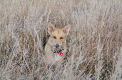поле собаки Стоковое фото RF