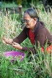 поле собирая пади повелительницы сена Стоковые Изображения