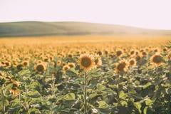 Поле солнцецвета в предпосылке цветеня естественной Красивые солнцецветы в солнечном свете стоковое изображение rf