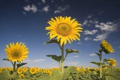 Поле солнцецвета в провинции освободившееся государство Южной Африки стоковое изображение rf