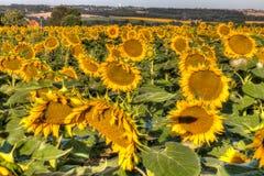Поле солнцецвета в южной Франции стоковые изображения