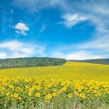Поле солнцецвета и голубое небо Стоковое Фото