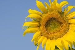 Поле солнцецвета над голубым небом Стоковая Фотография
