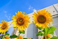 Поле солнцецвета над пасмурным голубым небом Стоковая Фотография