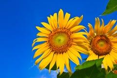 Поле солнцецвета над пасмурным голубым небом Стоковые Изображения RF
