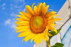 Поле солнцецвета над пасмурным голубым небом Стоковое фото RF