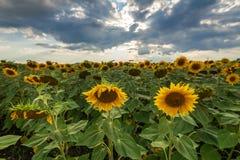 Поле солнцецвета на заходе солнца Стоковое Фото