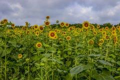 Поле солнцецвета на парке замка Виндзора стоковое изображение