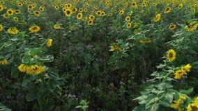 Поле солнцецвета на сумраке - отслеживать съемку видеоматериал