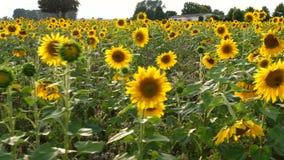 Поле солнцецвета на сумраке - отслеживать съемку акции видеоматериалы