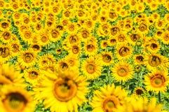 Поле солнцецвета, Провансаль, Франция, мелкий фокус стоковая фотография rf