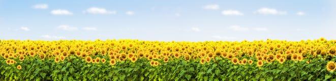 поле солнцецвета с панорамой голубого неба стоковая фотография