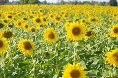 поле солнцецвета с хатой Стоковое Фото